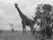 Giraffe in black and white Stock Photos