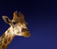 Giraffe on blue Stock Image