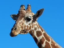 Giraffe on blue background Royalty Free Stock Photos