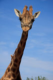 Giraffe blue sky Stock Image