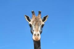 Giraffe on blue sky background. Giraffe against the blue sky in the Kaliningrad Zoo Stock Photo