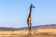 Giraffe Blue Sky Wildlife Animal Stock Image
