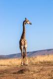 Giraffe Blue Sky Wildlife Animal Stock Photos