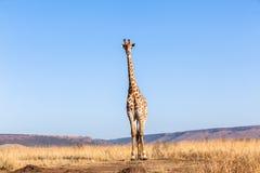 Giraffe Blue Sky Wildlife Animal Royalty Free Stock Photography