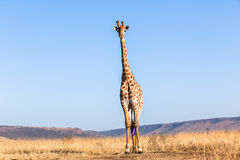 Giraffe Blue Sky Wildlife Animal Royalty Free Stock Images