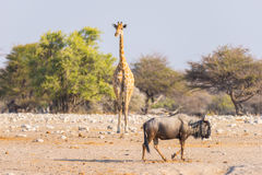 Giraffe and Blue Wildebeest walking in the bush. Wildlife Safari in the Etosha National Park, famous travel destination in Namibia Royalty Free Stock Photos