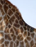A close up of a giraffe neck and the reticulated hair. Giraffe body view reticulated hair skin Africa animal pattern background Royalty Free Stock Image