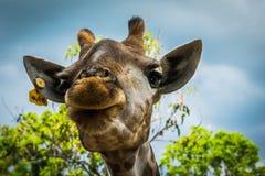 Giraffe at Bonanza Exotic Zoo in Thailand royalty free stock photos