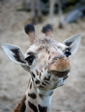 Giraffe bonito fotografia de stock
