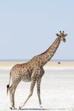 Giraffe at the border of salt pan Stock Image