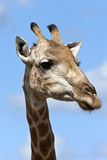 Giraffe - Botswana Royalty Free Stock Photography