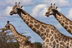 Giraffe - Botswana. A family of Giraffe (Giraffa camelopardalis) in the Savuti region of Botswana Stock Photos