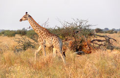 Giraffe in Botswana. Evening scenery including a giraffe at the Savuti Marsh area in the Chobe National Park in Botswana, Africa Stock Photo