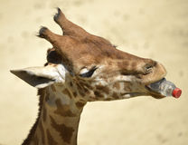 Giraffe with bottle in mouth Royalty Free Stock Photo