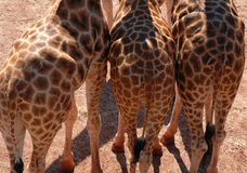 Giraffe bottoms. Three giraffes, standing together, rear ends facing the camera stock images