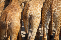Giraffe bottoms Royalty Free Stock Image
