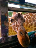Giraffe breaks car window while looking for food in zoo park surprise. Using for wallpaper or web background stock images