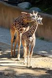 Giraffe Brother and sister. Brother and sister Giraffes at the Los Angeles Zoo Stock Photography
