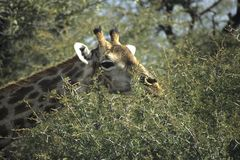 Giraffe browsing on acacia thorn tree Stock Photos