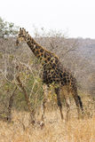 Giraffe browsing Royalty Free Stock Photography