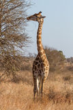 Giraffe Browsing Stock Photos