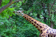 Giraffe Browsing Leaves, Bronx Zoo, New York. Giraffe browsing on leaves from a tree. Photo taken in the Bronx zoo in New York, USA. Giraffes are herbivores royalty free stock photos