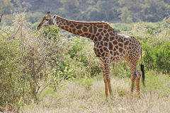 Giraffe browsing in thornveld Stock Photo