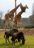 GIRAFFE and BUFFALO Stock Photography