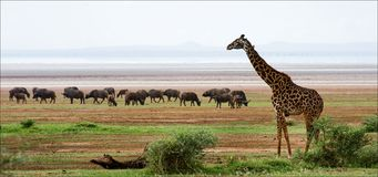 Giraffe and buffalos. Stock Photography