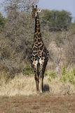 Giraffe Bull Stock Photos