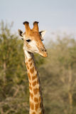 Giraffe bull Royalty Free Stock Photography