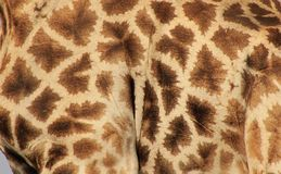 Giraffe - Bull Blocks Royalty Free Stock Image