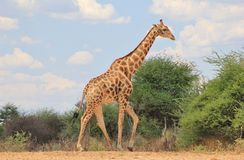 Giraffe Bull Blues Stock Images
