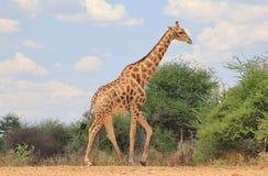 Giraffe Bull Blues Stock Images