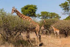 Giraffe Bull Calf's Wildlife Royalty Free Stock Photography