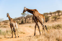 Giraffe Bull Female Animal Wildlife Royalty Free Stock Photo