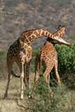 Giraffe Bull Fight stock photos