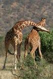 Giraffe Bull Fight. Two reticulated giraffe bulls neck sparring Stock Photos