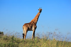 Giraffe bull Stock Photos