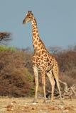 Giraffe bull. A large giraffe bull (Giraffa camelopardalis), Etosha National Park, Namibia Royalty Free Stock Photography