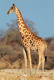 Giraffe bull Stock Image
