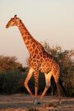 Giraffe bull Stock Images