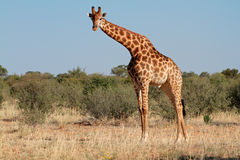 Giraffe bull Stock Photography