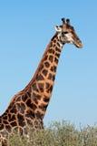 Giraffe bull portrait Stock Images