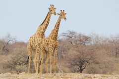 Giraffe Bull - Wildlife Background from Africa - Brother Pose Royalty Free Stock Photography