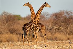 Giraffe bulls. Two giraffe bulls (Giraffa camelopardalis), Etosha National Park, Namibia, southern Africa Royalty Free Stock Photo