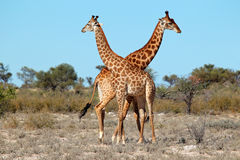 Giraffe bulls Stock Photography