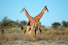 Giraffe bulls. Two giraffe bulls (Giraffa camelopardalis), South Africa Stock Images