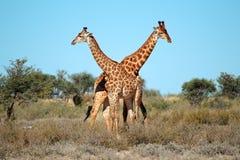 Giraffe bulls Stock Images
