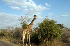 Giraffe in Bush. Pair of giraffes in Kruger National Park game reserve Royalty Free Stock Photos